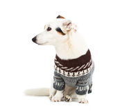 Jack russell sitting with sweater Royalty Free Stock Images