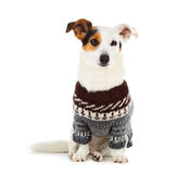 Jack russell sitting with sweater Royalty Free Stock Photos