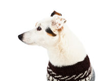 Jack russell sitting with sweater Stock Photos