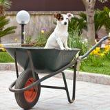 Jack Russell sitting in wheelbarrow Stock Photo
