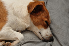 A Jack Russell Stock Images