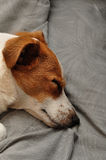 A Jack Russell Royalty Free Stock Images