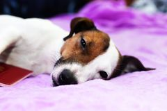 Jack Russell sleeps on the bed Royalty Free Stock Photography