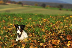 Jack russell Stock Image