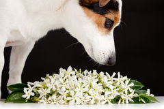 Jack Russell smells like jasmine flowers Stock Photo