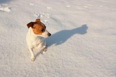 Jack Russell in sneeuw stock foto's