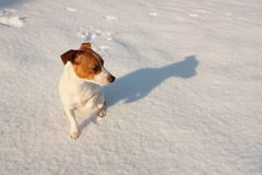 Jack Russell in snow. Cute little brown and white Parson Jack Russell terrier sitting in the snow and staring Stock Photos