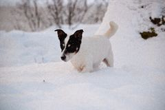 Jack russell in snow Royalty Free Stock Images