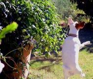 Jack Russell som hoppar för, stapplar biet Arkivfoto