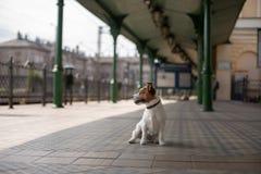 Jack russell sta sedendosi all'attesa della stazione Piccolo cane sul trasporto fotografia stock