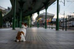 Jack russell sta sedendosi all'attesa della stazione Piccolo cane sul trasporto fotografia stock libera da diritti