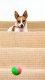 Jack Russell on stairs watching ball bounce Royalty Free Stock Images