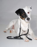 Jack Russell with Stethoscope Stock Photography