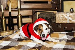 Dog in Santa costume. Jack Russell in a suit of Santa Claus Royalty Free Stock Image