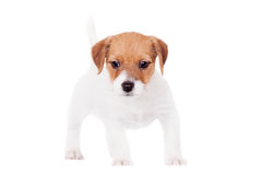 Jack Russell szczeniak na bielu (1,5 miesięcy starych) Zdjęcia Royalty Free