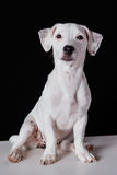 Jack Russell szczeniaka dopatrywanie i obsiadanie fotografia royalty free