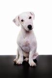Jack Russell szczeniaka dopatrywanie i obsiadanie zdjęcie stock
