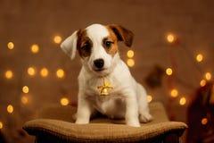 Jack Russell szczeniaka portret Fotografia Stock