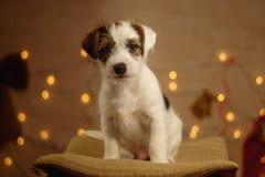 Jack Russell szczeniaka portret zdjęcia royalty free