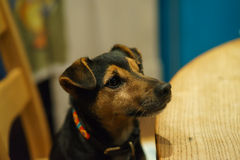 Jack Russell at Table Stock Images