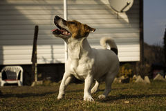 Jack Russell Terier Royalty Free Stock Photos