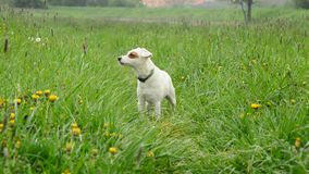 Jack Russell Terier stock video footage