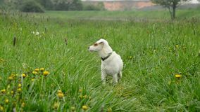 Jack Russell Terier stock video