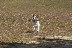 Jack Russell terier bawić się z kijem Zdjęcie Royalty Free