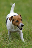 Jack russell terier currying ball Stock Photography