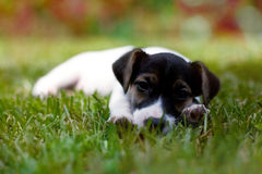 Jack russell terier portrait Stock Photos