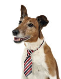 Jack Russell Terier portrait  in tie, in white studio. Jack Russell Terier portrait  in tie, white studio Stock Photography