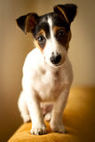Jack russell terier Royalty Free Stock Photo