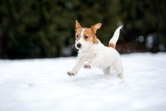 Jack Russell teriera szczeniak bawić się outdoors w zimie obrazy stock