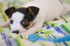 Jack Russell teriera szczeniak kłama na łóżku z kolorowymi pościelami Obrazy Royalty Free