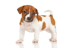 Jack Russell teriera szczeniak na bielu Obraz Royalty Free