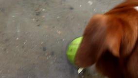 Jack Russell terriërhond het snuiven tennisbal en bladeren stock videobeelden