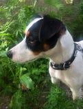 Jack Russell-terriërpuppy in tuin Stock Foto's