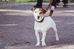 Jack Russell Terrier à l'exposition canine, une exposition image libre de droits