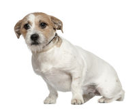Jack Russell Terrier, 1 and a half years old. Sitting in front of white background Stock Image