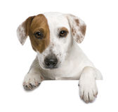 Jack Russell terrier, 1 year old Stock Photo