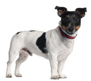 Jack Russell Terrier, 1 year old Royalty Free Stock Photography