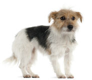 Jack Russell Terrier, 1 year old, standing Royalty Free Stock Image
