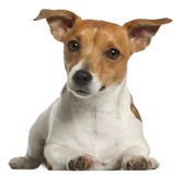 Jack Russell Terrier, 10 months old, lying Stock Photography