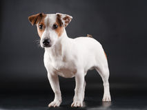 Jack Russell Terrier. Standing on black. No isolated royalty free stock photo