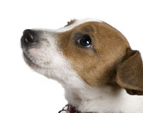 Jack Russell Terrier, 12 weeks old, looking up. In front of white background Royalty Free Stock Photography