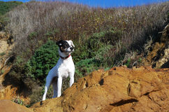Jack Russell Terrier. White Jack Russell terrier with half black face standing on a side of a mountain with dry shrubs in the background Royalty Free Stock Photo