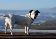 Jack Russell Terrier. Standing on a bench in a crisp morning sun Royalty Free Stock Photo
