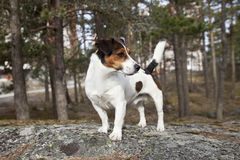 Free Jack Russell Terrier Royalty Free Stock Image - 12679756