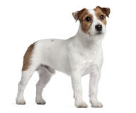 Jack Russell Terrier, 15 months old, standing Stock Image