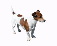 Jack russell terrier. Dog with clipping path Stock Photo